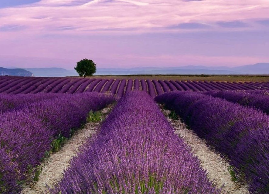 Mayfield Lavender Farm (July-August)